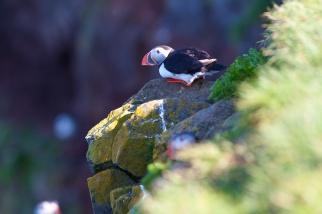 Macareux, rocher, oiseaux, Islande