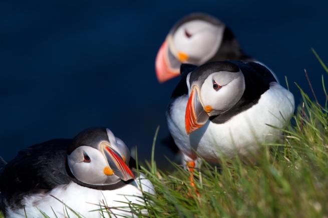 oiseaux, Islande, macareux