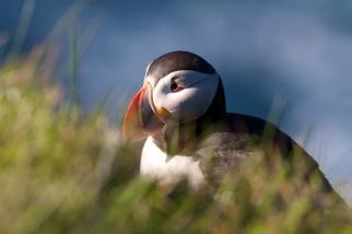 Macareux moine, herbes, oiseaux, Islande