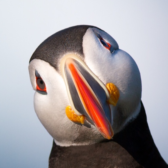 Tete, Macareux moine, Islande, oiseaux