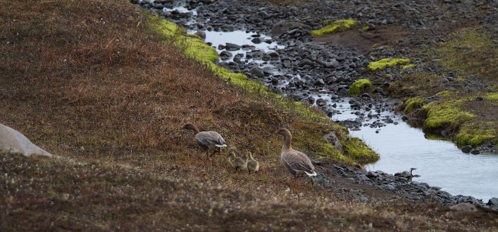 oie, oiseaux, Islande