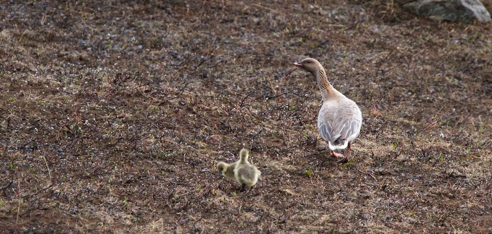 Oie à bec court, oiseaux, Islande