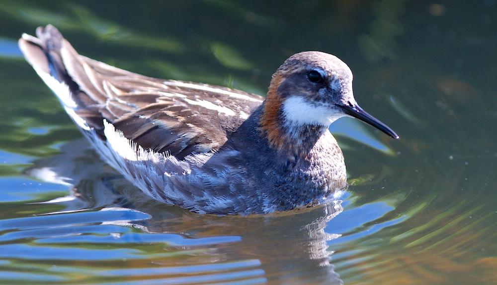Phalarope a bec etroit, oiseaux, Islande