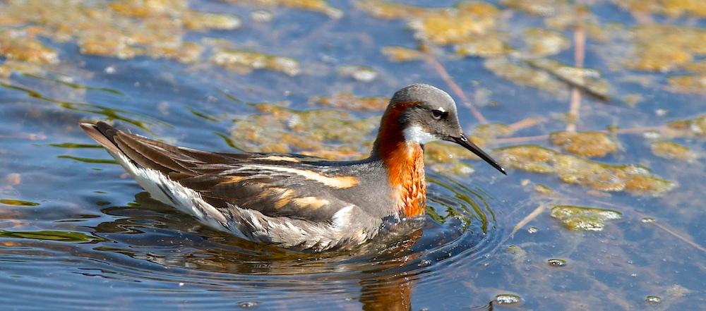 Phalarope, femelle, oiseaux, Islande