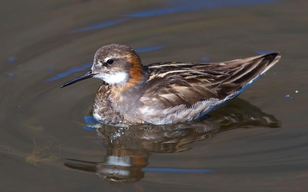 Phalarope, oiseaux, Islande