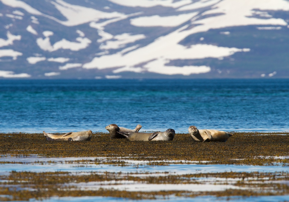 Phoques, fjords, Ilsande, mammifères