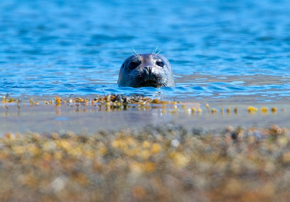 Phoque veau-marin, Islande, animaux
