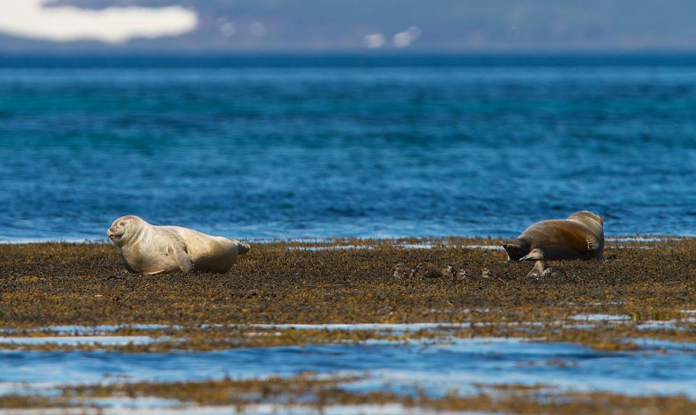 Phoques, eiders, animaux, Islande