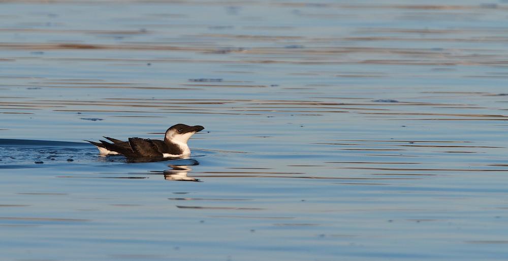 pingouin torda, 1er hiver, Finistère