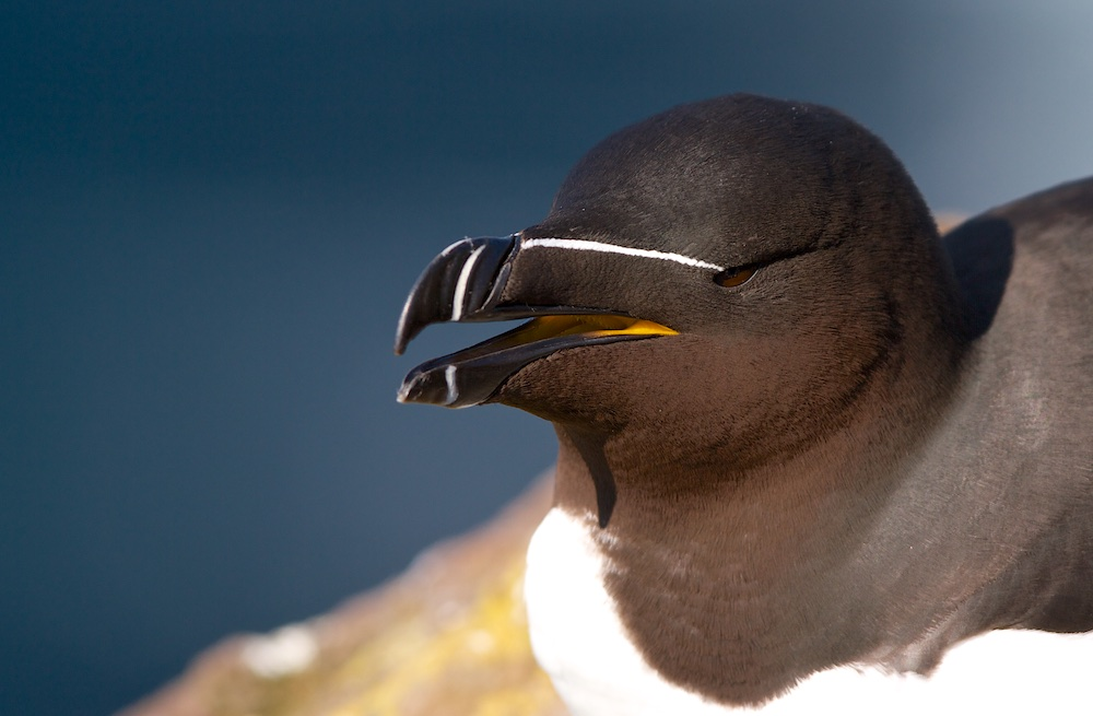 pingouin torda, oiseaux, Islande