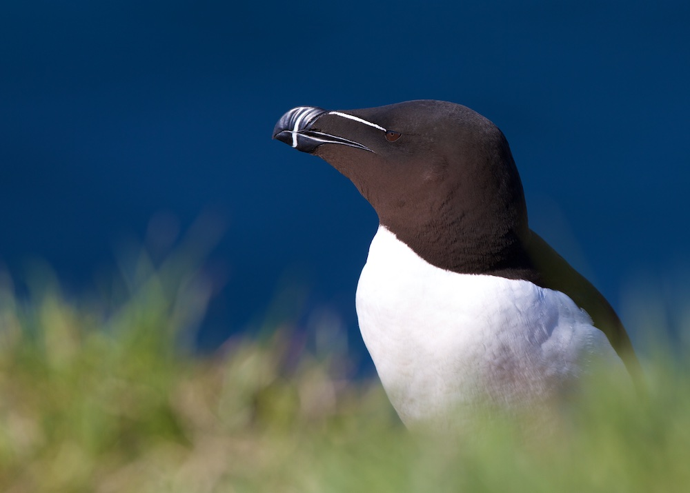 pingouin torda, herbe, oiseaux, Islande