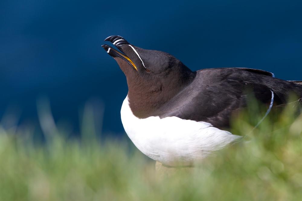 petit pingouin, oiseaux, Islande