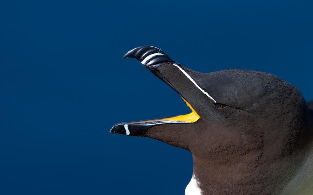 pingouin torda, bec, oiseaux