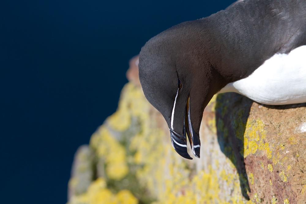 petit pingouin, torda, rochers, Islande
