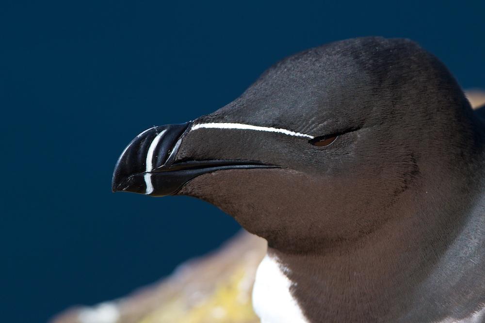 pingouin, oiseaux, Islande