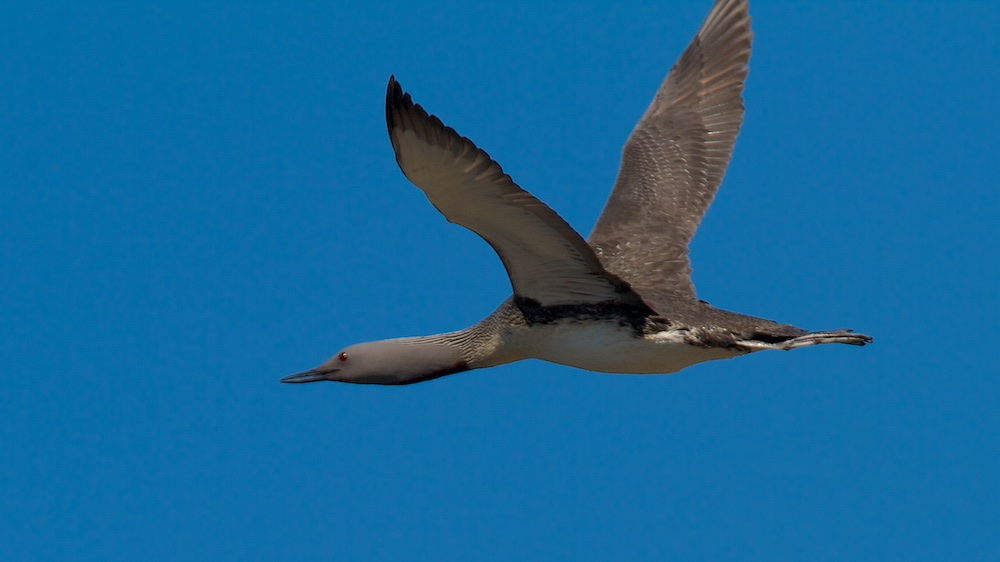 plongeon catmarin, oiseaux, vol, Islande
