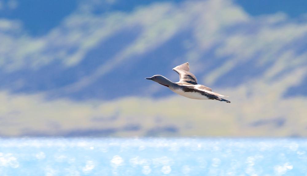 oiseaux, Islande, plongeon catmarin