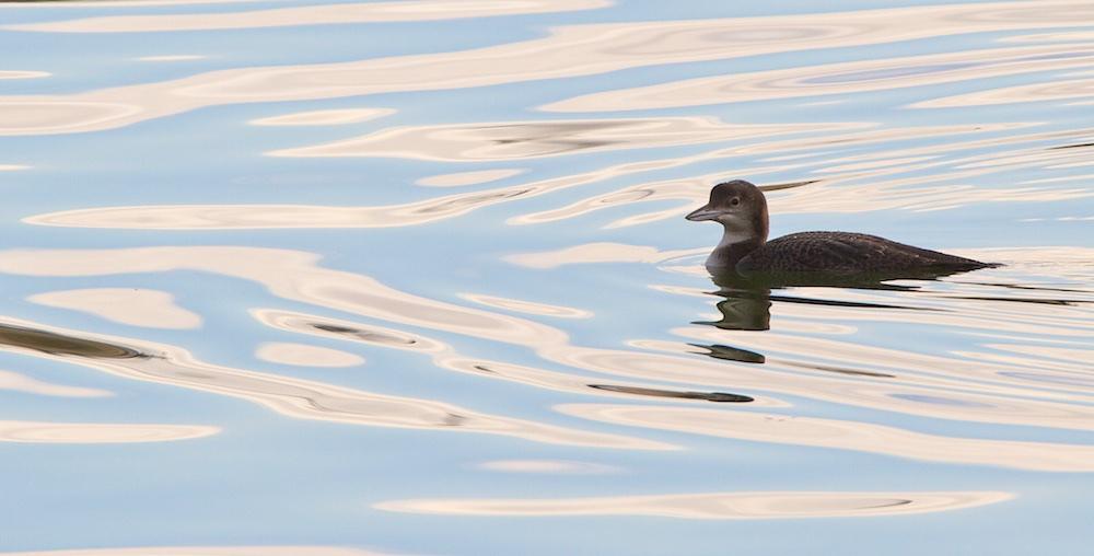 plongeon imbrin, oiseaux, Finistère