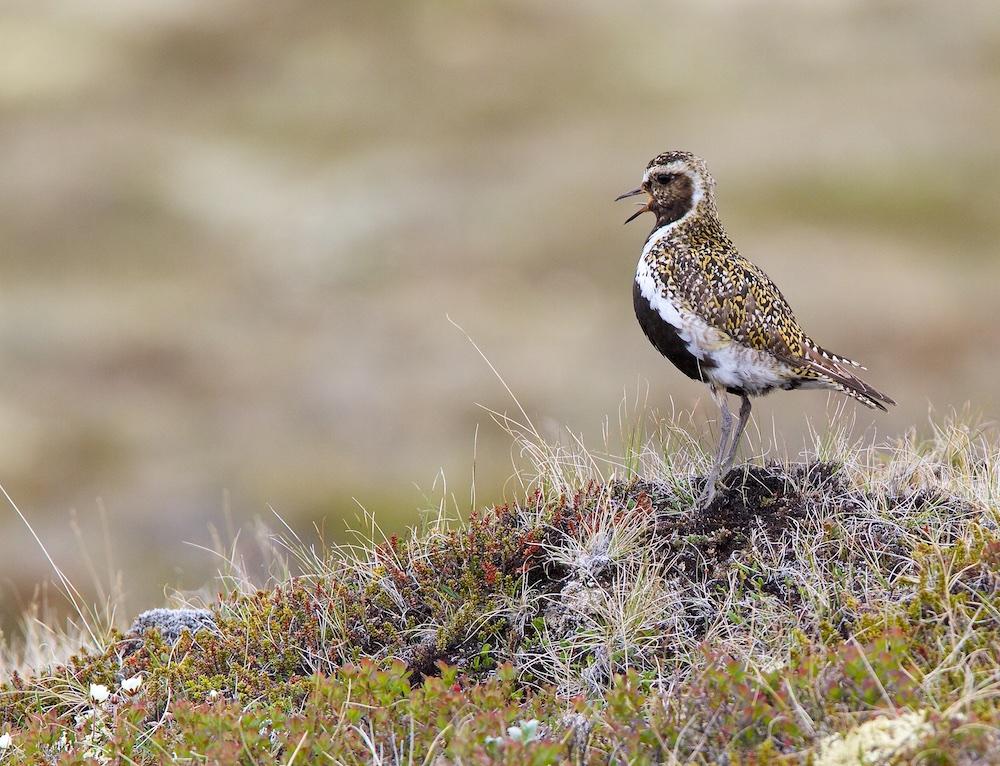 Pluvier doré, oiseaux, Islande