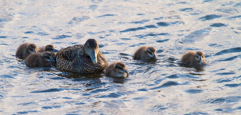 poussins, eider, oiseaux, Islande