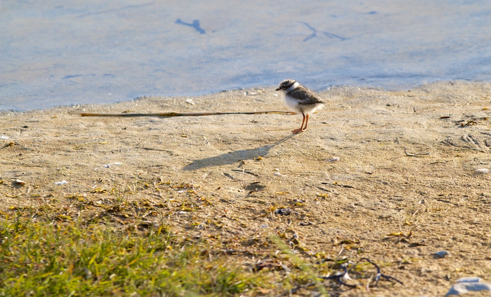 poussin, grand gravelot, oiseaux, Islande