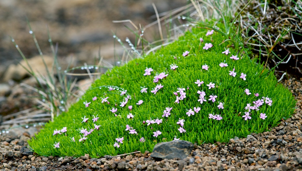 silene acaule, flore, fleurs, Islande