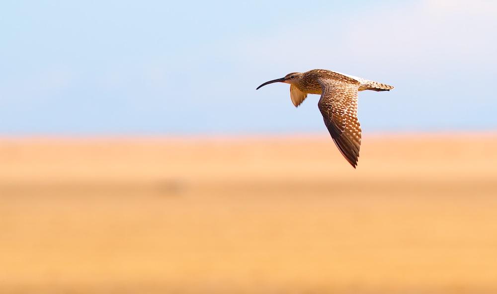 Courlis corlieu, oiseaux, Islande