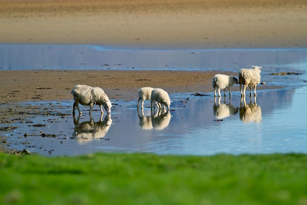 moutons, Raudisandur, animaux, Islande