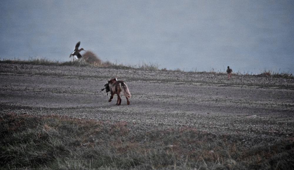 renard polaire, Islande