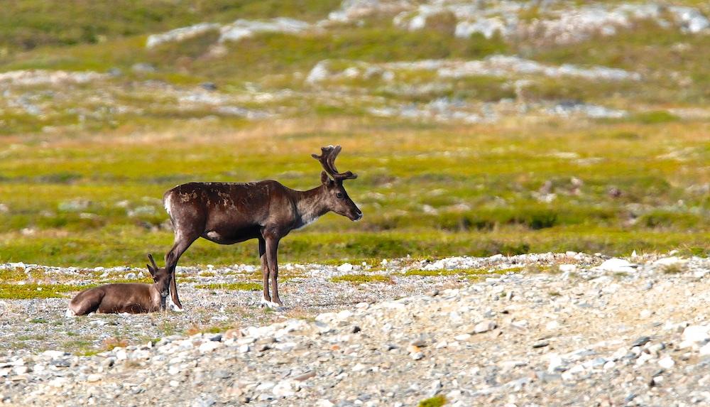 rennes, animaux, faune, Islande