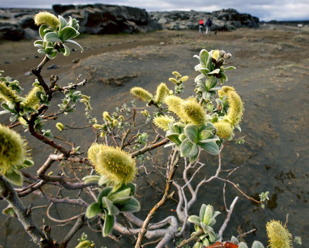 saule laineux, flore, buisson, Islande