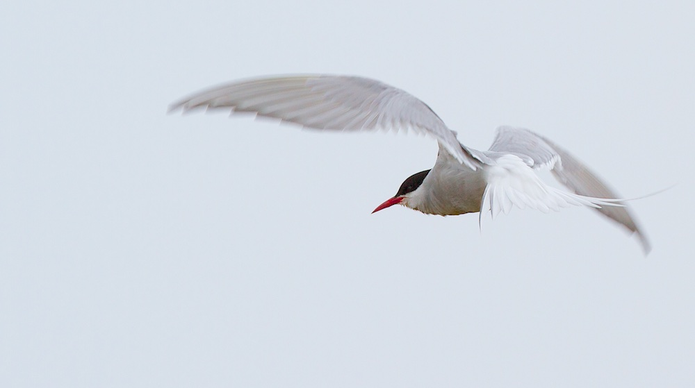 sterne arctique, oiseaux, Islande