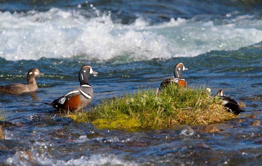 oiseaux, Islande, arlequin plongeur