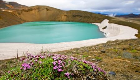 fleur, silene acaule, Islande, volcan