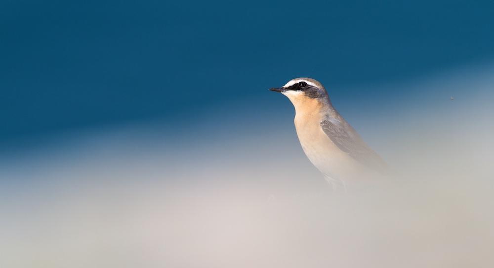 traquet motteux, oiseaux, migration