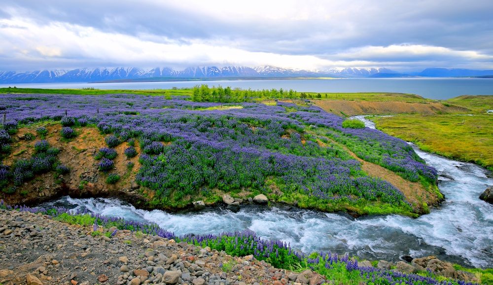 paysage, Islande, fleurs, fjord
