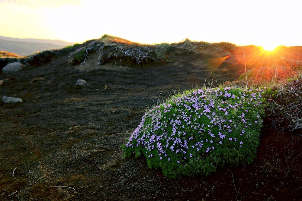 silene acaule, fleur, coucher de soleil, Islande