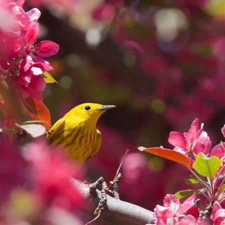 Paruline jaune, ornithologie, oiseaux, Montreal, Quebec, Canada, faune, voyages