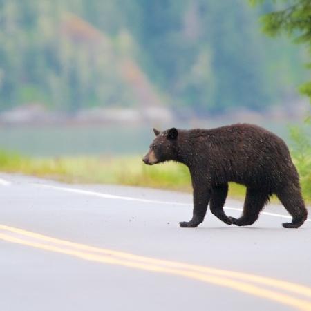 ours noir, black bear, faune, nature, Alaska, USA